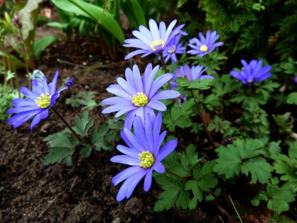 gartenpflanzen kaufen blaue anemone blanda