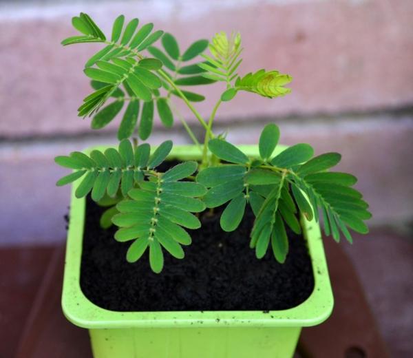 gartenpflanzen kaufen mimose topfpflanze