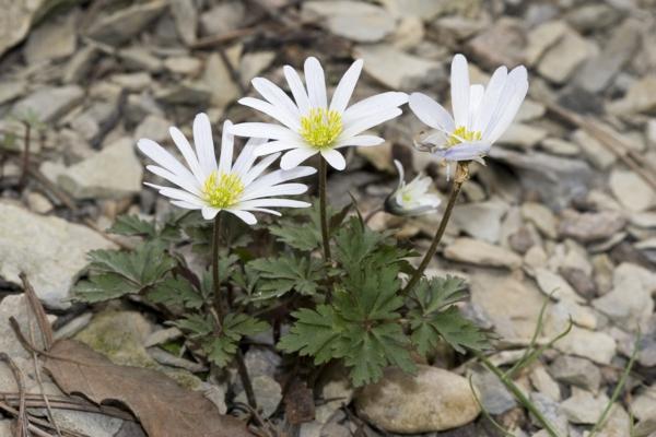 gartenpflanzen kaufen weiße anemone blanda