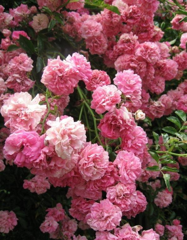 gartenpflanzen pfingstrosen blühende pflanzen rosenbusch