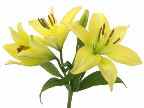 gelbe lilien blumen bedeutung garten pflanzen