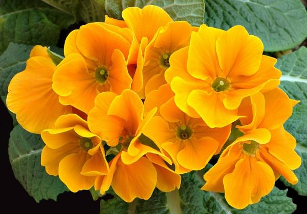 gelbe primeln schöne blumen garten pflanzen