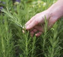 Haare gesund pflegen – die Wunderpflanze Rosmarin