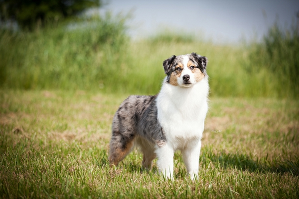 hunde schöne hunderassen Australischer Schäferhund