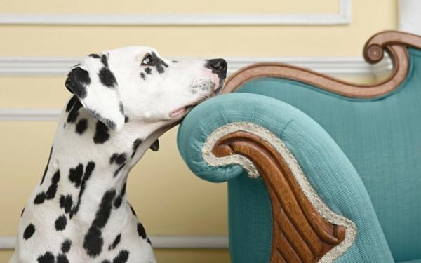 hunderassen dalmatiner hund haustiere sofa