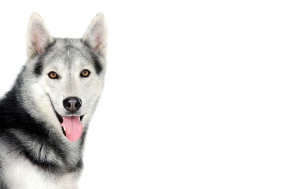 husky schöne hunderasse tiere haustiere