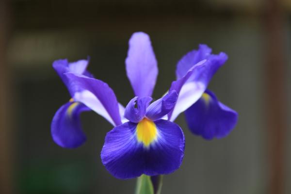 iris lila blumen bedeutung garten pflanzen