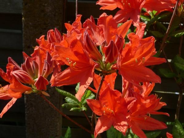 japanische azaleen rot garten pflanzen
