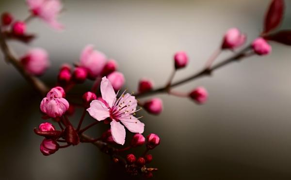japanische sternzeichen kirschblüte