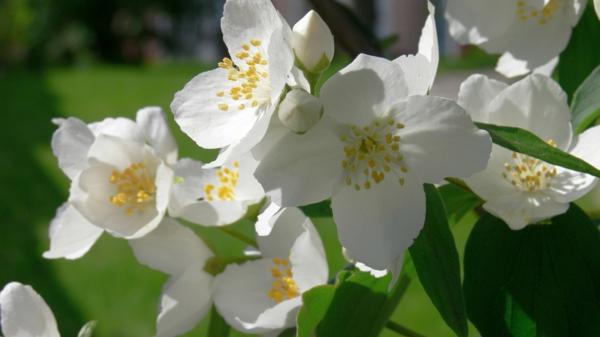 jasmin pflanze weiß schön blumen bedeutung