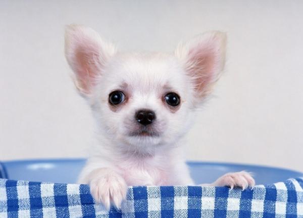 kleine hunderassen chihuahua hund weiß