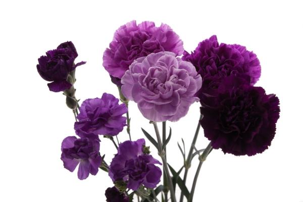 lila nelken blumen bedeutung garten pflanzen
