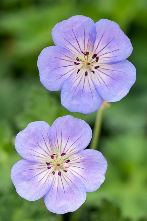 lila storchschnäbel schöne dekoideen garten pflanzen