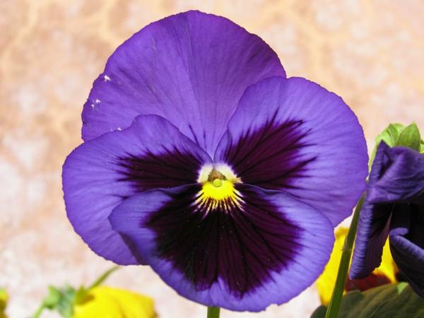 lila veilchen blumen bedeutung pflanzen