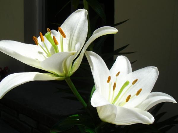 lilien weiß schön blumen sträuße