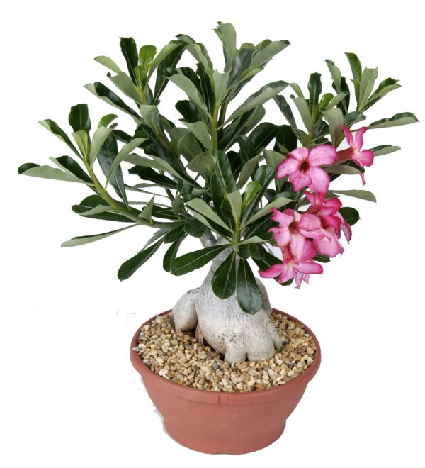 moderne zimmerpflanzen rosa blühten schöne dekoideen