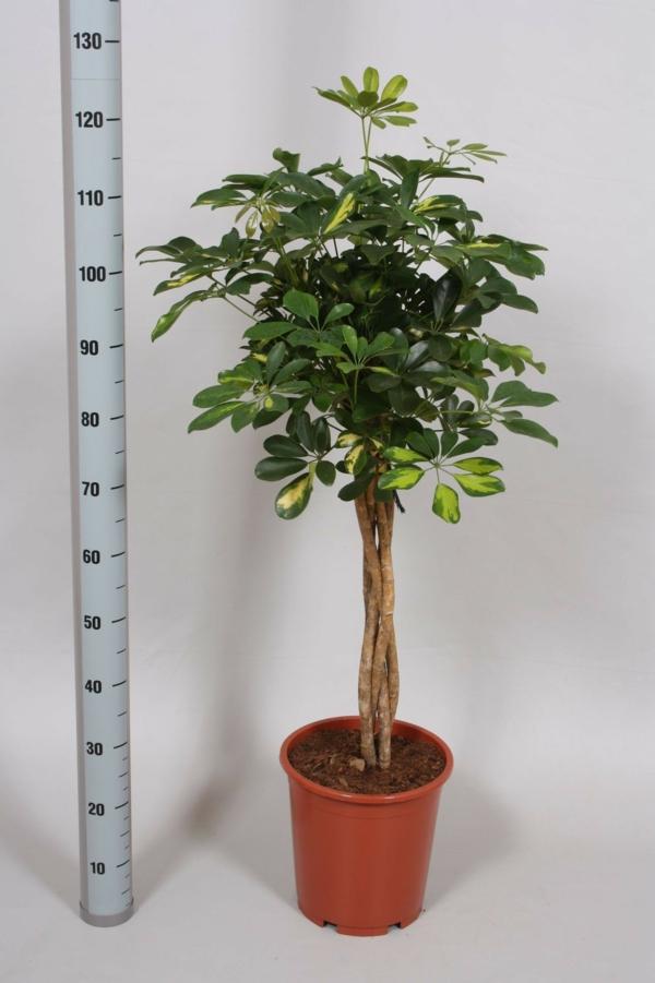 moderne zimmerpflanzen schefflera baum schöne dekoideen