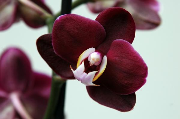orchidee dunkelrot respekt ausdrücken