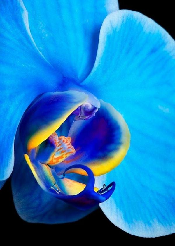 orchideen phalaenopsis orchid blaue blüte