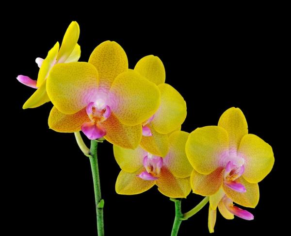 orchideenarten Phalaenopsis Orchid gelbe blüten
