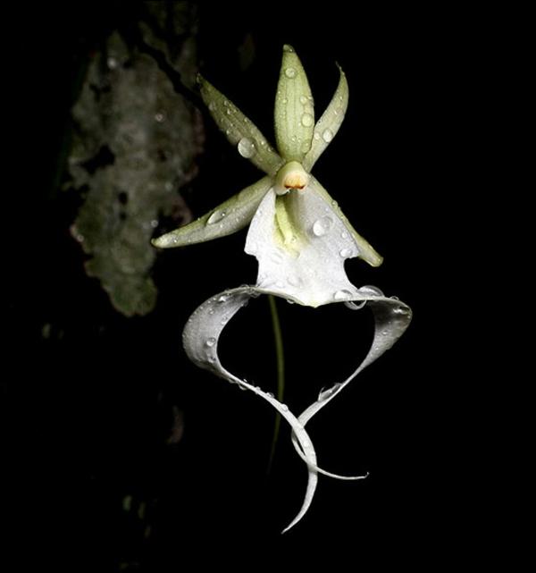 orchideenarten ghost orchid ausgefallen garten pflanzen