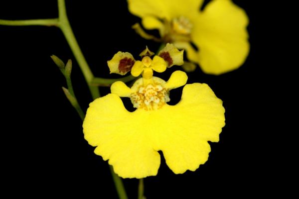 orchideenarten oncidium orchid gelbe orchideen