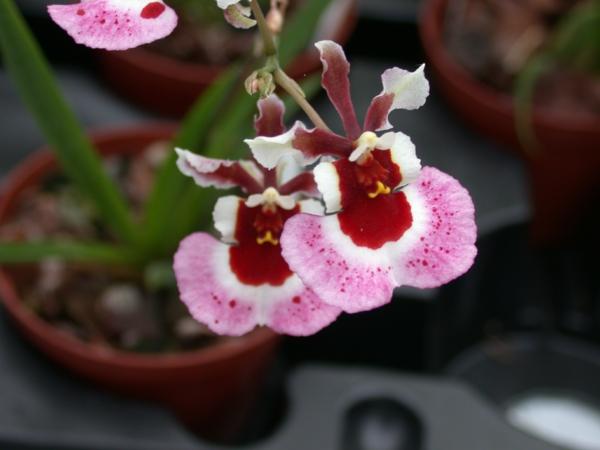 orchideenarten oncidium orchid orchideen büten