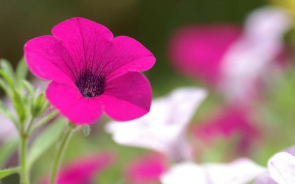 petunie lila blumen bedeutung pflanzen