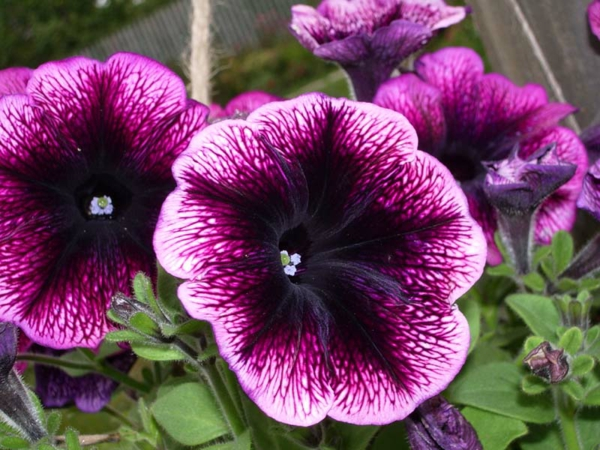 petunien bedeutung lila garten pflanzen