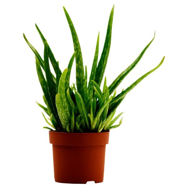 pflegeleichte zimmerpflanzen aloe schöne dekoideen