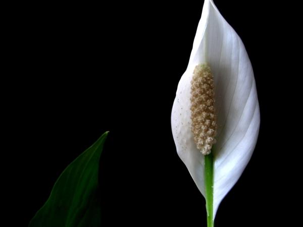 pflegeleichte zimmerpflanzen friedenlilie weiße blühte