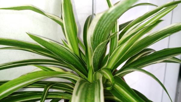 pflegeleichte zimmerpflanzen grünlilie schöne blätter