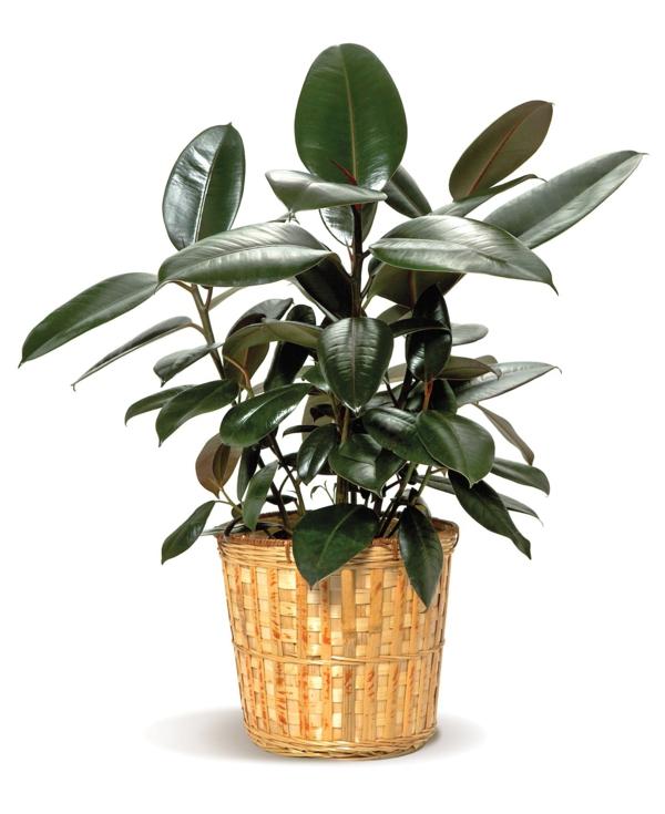 pflegeleichte zimmerpflanzen gummibaum pflanze