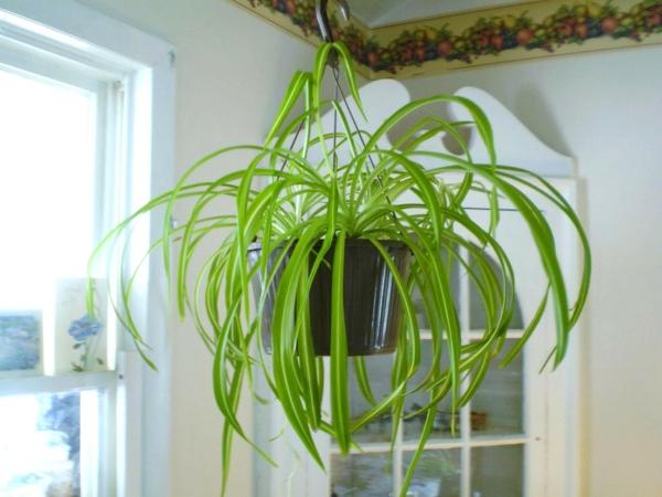pflegeleichte zimmerpflanzen hängende grünlilie