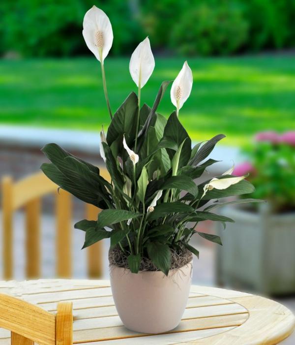 pflegeleichte zimmerpflanzen schöne friedenlilie
