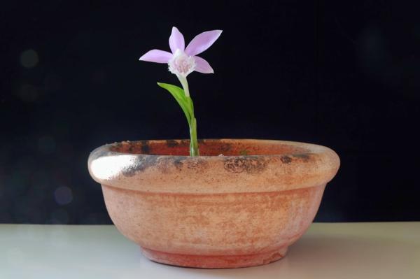 pleione formosa orchidee deko fenster