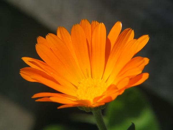 ringelblume orange pflanzen blumen bedeutung