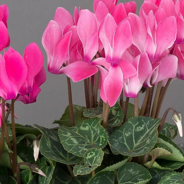 rosa alpenveilchen freunschfat bedeutung pflanzen