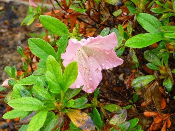 rosa azalee pflanzen blumen dekoideen