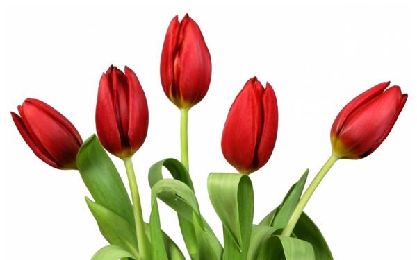 rote tulpen garten pflanzen blumen bedeutung