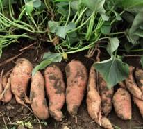 Die Süßkartoffel – Herkunft, Nährwerte und Aufbewahrung
