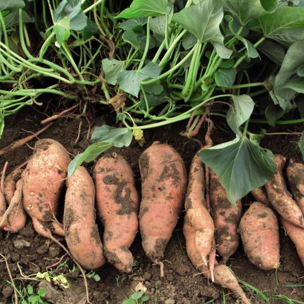 süßkartoffel grüne pflanze wurzeln