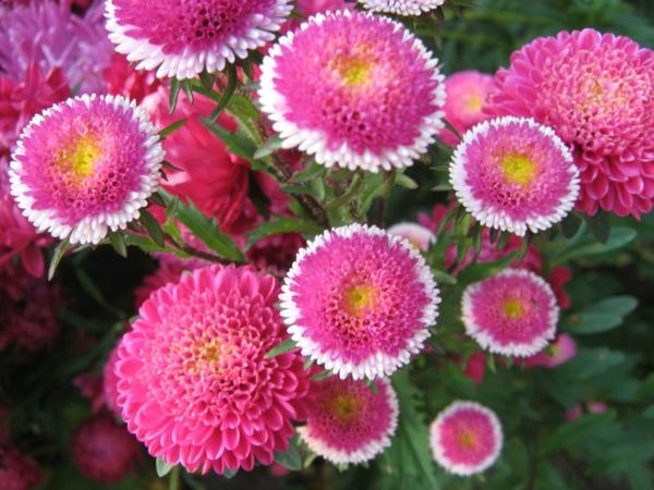 schöne astern blumen bedeutung rosa