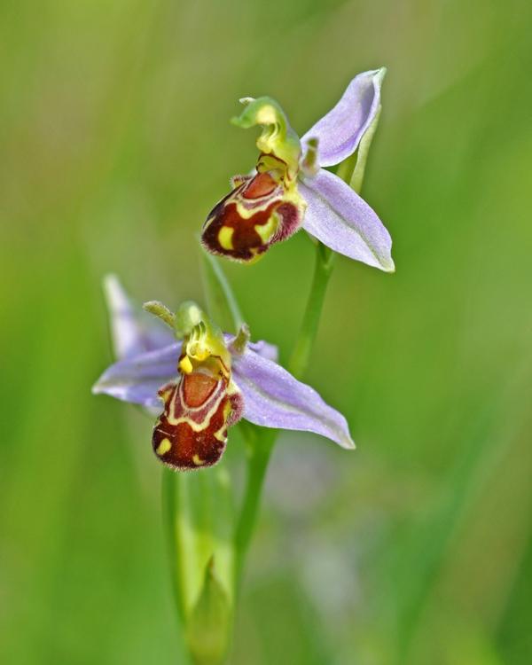 schöne blumen orchideen bee orchid pflanzen