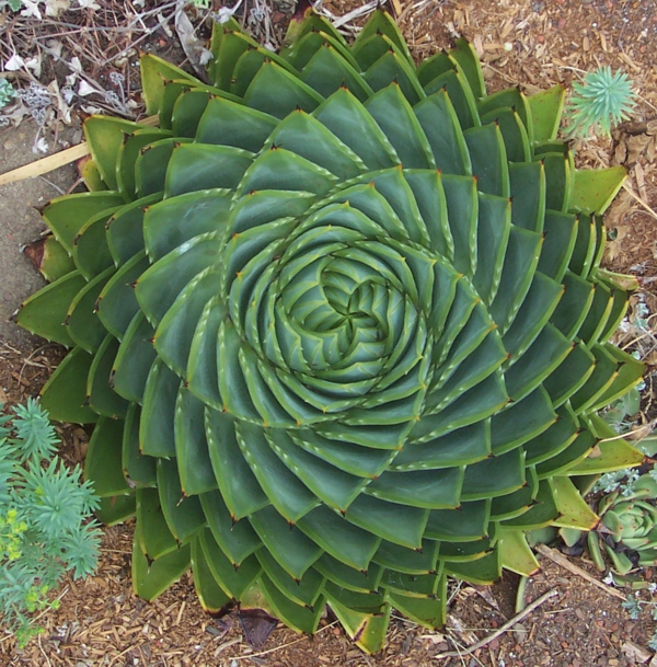 schöne dekoideen Aloe polyphylla fettpflanzen