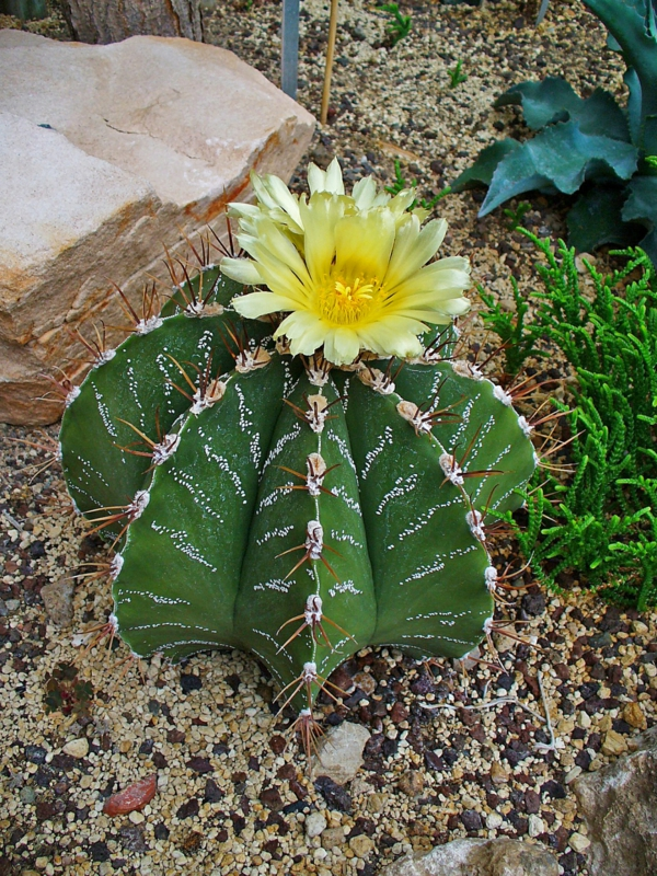 schöne dekoideen Astrophytum ornatum pflanzen