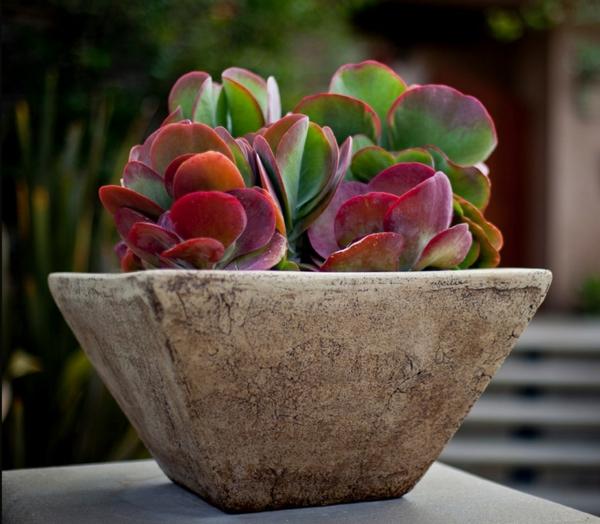 schöne dekoideen fettpflanzen kalanchoe luciae