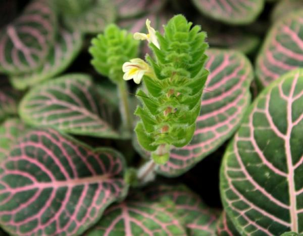 schöne dekoideen fittonie pflanze blüte