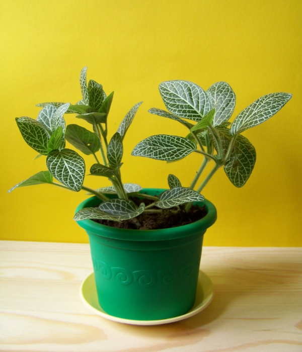 schöne dekoideen fittonie pflanze blumentopf
