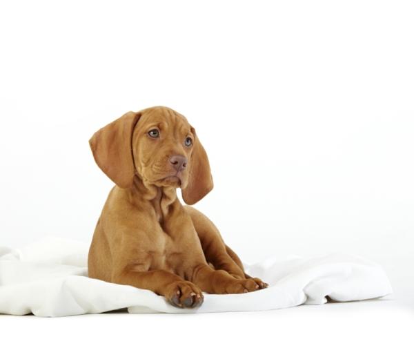 schöne hunderassen Hungarian Vizsla hund